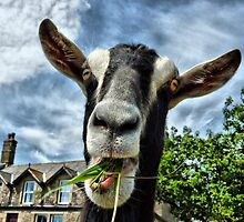 Nosy Goat .  by Lilian Marshall