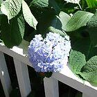 Georgia Porch Hydrangea by Rosie Brown