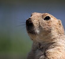 Portrait of a Meerkat by Jo Nijenhuis