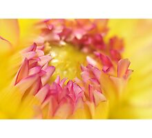 Pink and Yellow Dahlia, As Is Photographic Print