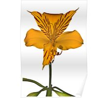 Yellow Alstroemeria on white background Poster