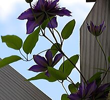 Clematis - Pergola by T.J. Martin