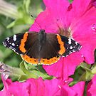 Nature at home(red admiral butterfly) by jozi1