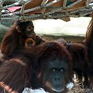 Orangutan mother and her baby  by Missy Yoder