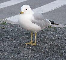 seagull by Jay Fassett