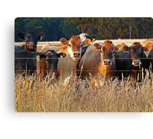 Moo,moo.moo,moo,moo,and moo. Canvas Print