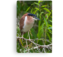 Out on a limb - Nankeen  Night Heron Canvas Print