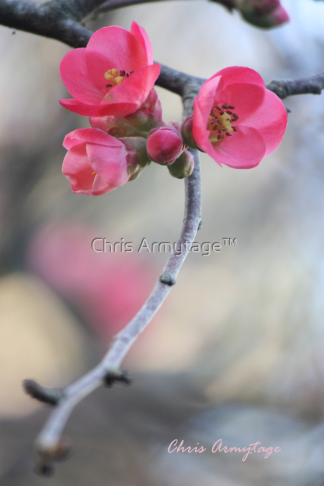 Spring  by Chris Armytage™