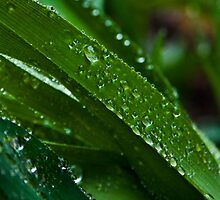 Blade of Dewy Grass by echoexpression