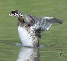 Juvenile Pied-billed Grebe Wing Stretch by DigitallyStill