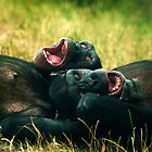 Chimps Playtime by Samantha  Nicol