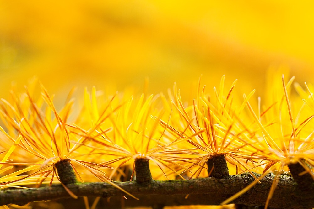 Larch Needles in Autumn by wildscape