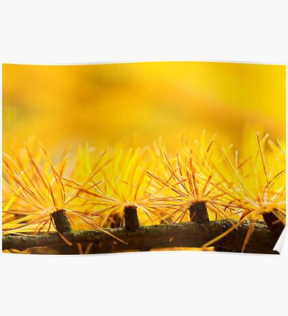 Larch Needles in Autumn Poster