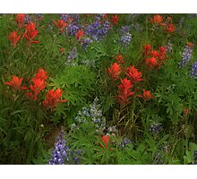 Paintbrush and Lupine Photographic Print