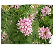 Crown-vetch Poster