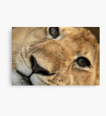 Lion Cub closeup Canvas Print