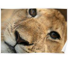 Lion Cub closeup Poster