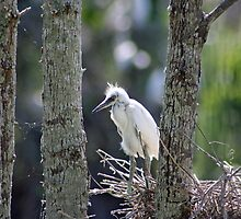 Young White Egret 2 by CLStevens