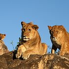 Three Young Lions by Karl Kruger