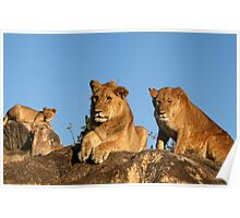 Three Young Lions Poster