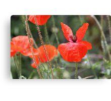 Poppies - Cinque Terre, Italy Canvas Print