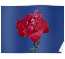 A Red Rose just for You. Poster