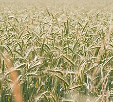 Barley by Laurent Aphecetche