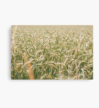 Barley Canvas Print