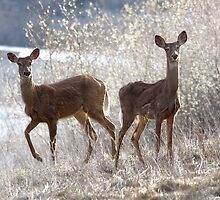 White-tailed Deers by Alex Preiss