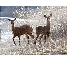 White-tailed Deers Photographic Print