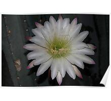 cactus flower last bloom Poster