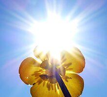 Sunburst Buttercup by Adrian S. Lock