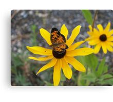 butterfly on black eyed susan Canvas Print