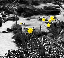 Yellow Daffodils by reaperwithaplan
