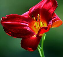 Beauty for a Day (Hemerocallis) by T.J. Martin
