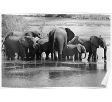 Elephants in The Zambezi River Poster