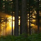 """Woodland Sunrise.  """"There be Gold in them there woods!"""" by Sunnymede"""