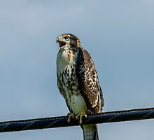 red tailed hawk in a wire by RosiesPhotos