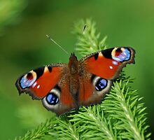 Beautiful Peacock butterfly by Russell Couch