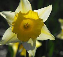 daffodil by rebecca metcalf