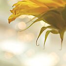 sunflower bokeh by Angel Warda