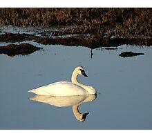 Lone Trumpeter Swan Photographic Print