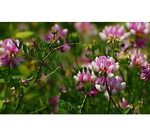 Clover Field Photographic Print