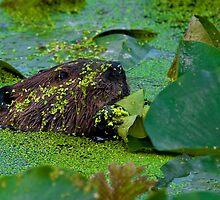 beaver and Lily Pads by (Tallow) Dave  Van de Laar