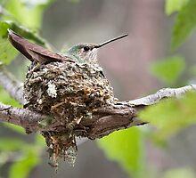 Nesting Hummingbird by Kim Barton