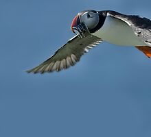 Puffin in Flight by tmtht