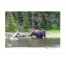 Water Feeding Moose Art Print