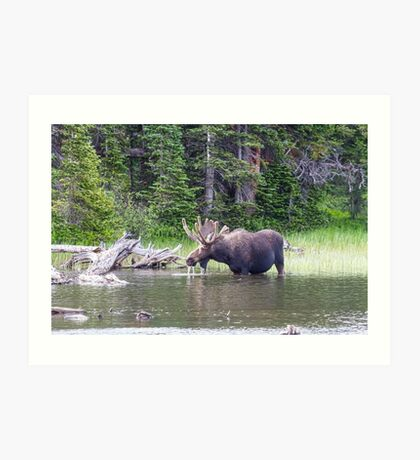 Water Feeding Moose Art Print