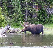 Water Feeding Moose by Bo Insogna