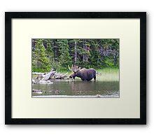 Water Feeding Moose Framed Print
